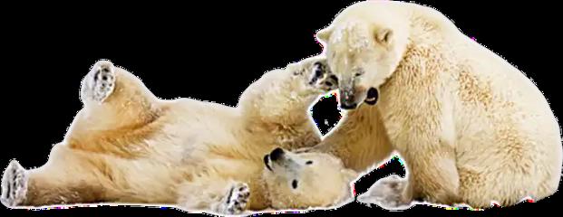 ftestickers bear pole polar cute freetoedit