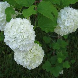 mypic snowball flowers freetoedit