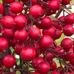 berries plants red bautyfull freetoedit