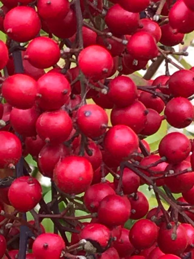 #berries #plants #red #bautyfull #freetoedit