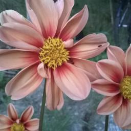 dalia nature flowers bautyfull loveflowers