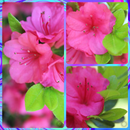 freetoedit photography flowers pink green
