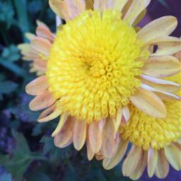 flower flowers yellow yellowflower myphotography