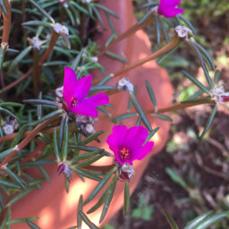 flower flowerphotography myphotography pink pinkflower