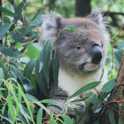 pczoo zoo australia koala melbourne