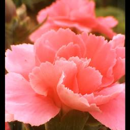 interesting nature carnation flower springtime