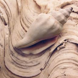 seashell conchshell texturesinnature monochromephotography freetoedit