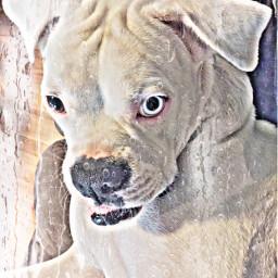 bowiethedeafboxer myboxerbowie boxerinabowtie boxer boxerdog