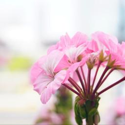 freetoedit flowers wallpaper background