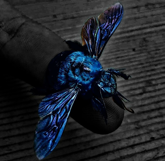 #bee #blue #blackandwhite #brightness.  #freetoedit