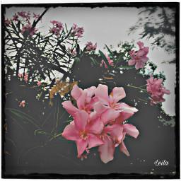 photography flower paeffects freetoedit flowershoutout