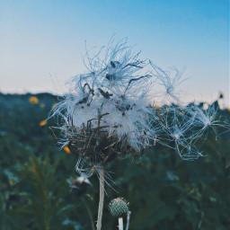 twilight myfavoritetimeofday dandelion makeawish
