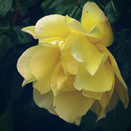 flower yellow rose photography dodgereffect freetoedit