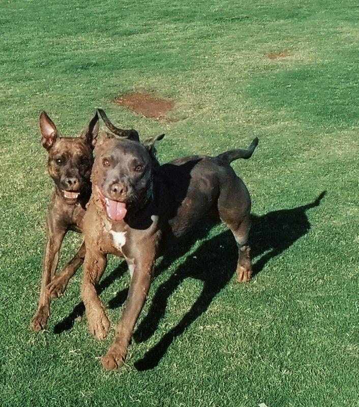 #freetoedit #mud #fun #pocket #pitbull #dogs #dogpark