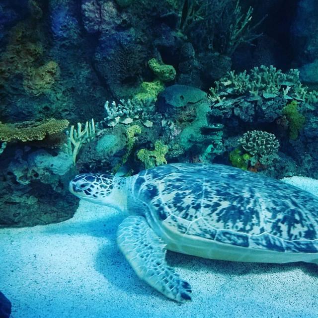 Green Sea Turtle at Ripley's Aquarium at Myrtle Beach - Broadway at the Beach #turtle #animals #aquarium #fish #ripleysaquarium #myrtlebeach #SouthCarolina #beach #pavilion
