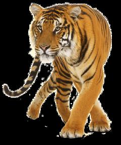 tiger clopart jungle tigre sticker freetoedit