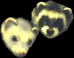 ferrets ferret cute domesticanimal rodent freetoedit