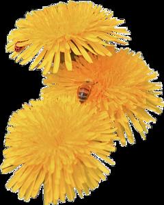 flowers dandelion aesthetic tumblr yellow freetoedit