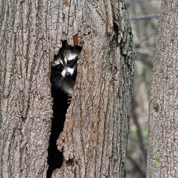 freetoedit raccoon tree nature mammal