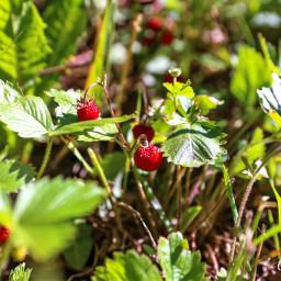 freetoedit nature berries strawberry