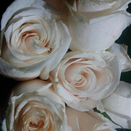 freetoedit rose whiterose myphoto nature