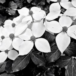 freetoedit blooming blackandwhite backgrounds florals