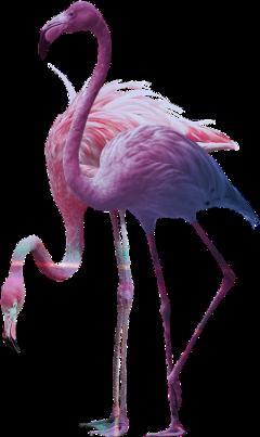 freetoedit scflamingo flamingo