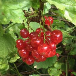 berries redcurrant red myphoto mygarden