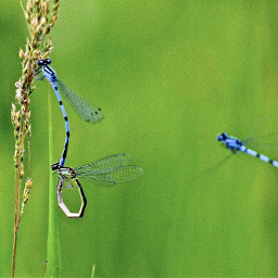 freetoedit dragonflies insects damselfly nature