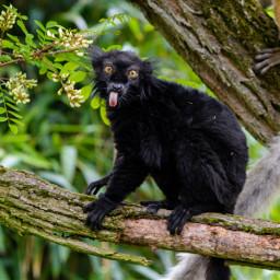 freetoedit remixit lemur funny tongue