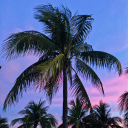 pcpalmtrees palmtrees palmtree beach bahamas