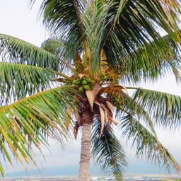 freetoedit palmtree hawaii bigisland pcpalmtrees pctravel
