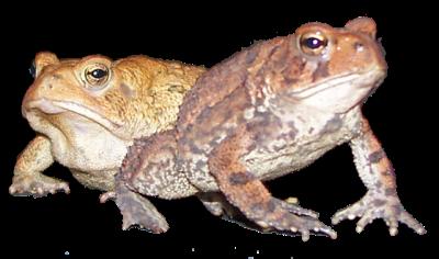 toad frog amphibian animal outdoors freetoedit
