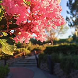 flowers blossoms walkway morningsunshine pink