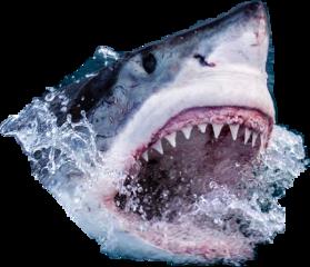 sharks freetoedit scsharksticker sharksticker
