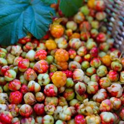 freetoedit wildberries berries nature naturephotography