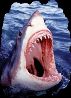 scsharksticker sharksticker shark teeth open freetoedit