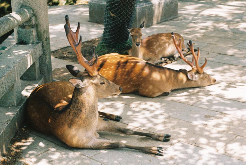 Deer nap :) #nara #filmphotography