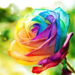 colorfulsummer freetoedit rose votenow