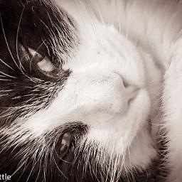 cats cat feline blackandwhite cute