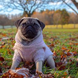 cute pug pugs dog pet freetoedit