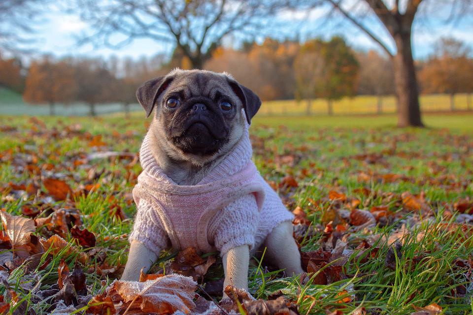 Give this image a fabulous remix! Unsplash (Public Domain) #cute #pug #pugs #dog #pet #freetoedit