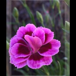 freetoedit interesting nature carnation mygarden