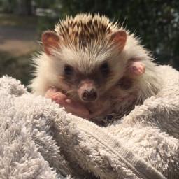 myclick mypet hedgehog pcpetsofpicsart