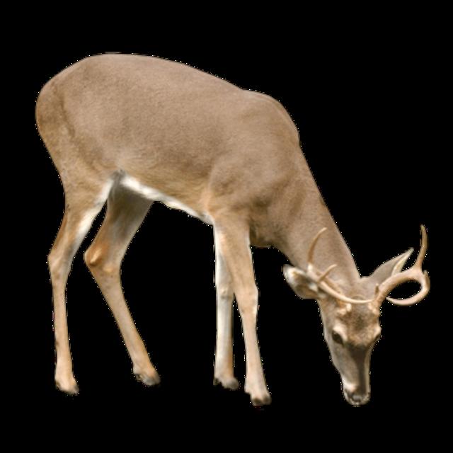 #deer #deers #animal #animals #elk #reindeer