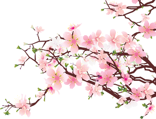 pink flowers cherryblossoms blossoms spring freetoedit