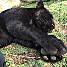freetoedit huge baby petsandanimals panther