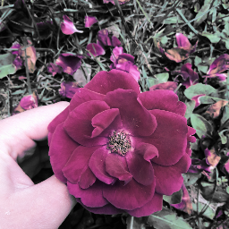 flower rosa rose hand myhand