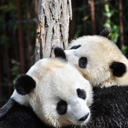 cute panda bear animals freetoedit
