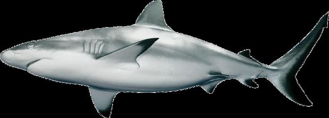 shark animal tiktok freetoedit